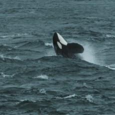 Wild Shetland